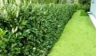 Вечнозеленые живые изгороди