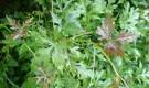 Виноградовник аконитолистный, ампелопсис