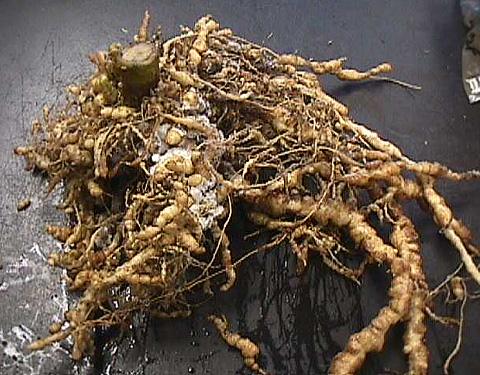 Вредитель корневищных — галловая нематода