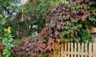 Вредители и болезни лиан: мучнистая роса