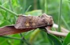 Вредители корневищных — листогрызущие совки