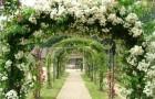 Выращивание лиан на арке