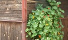 Выращивание лиан на решетке
