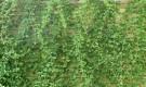 Листья зеленые, яйцевидные, длиной 4-9 см, копьевидные у основания, волнистые по краю.  Цветки белые, мелкие, но...