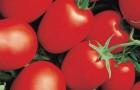 Сорт томата: Яки f1