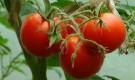 Сорт томата: Ямал 200