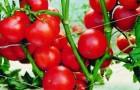Сорт томата: Япончик