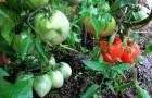 Сорт томата: Юбилей подмосковья