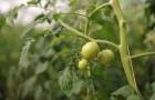 Сорт томата: Юбилейный вир