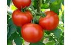 Сорт томата: Юбиляр f1