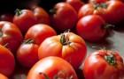Сорт томата: Юпитер f1