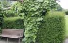 Живые изгороди из лиан