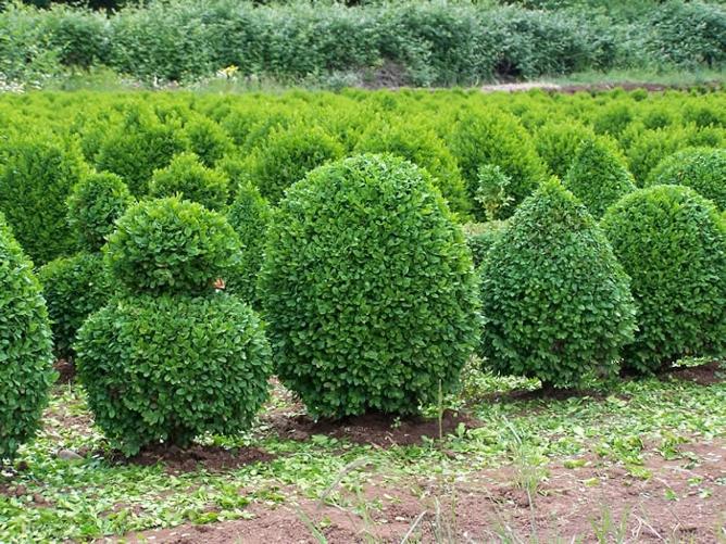 Живые изгороди округлой формы