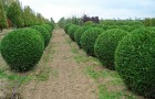 Живые изгороди в форме трапеции