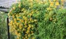 Замачивание семян лиан в термосе