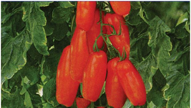 Сорт томата: Радуга