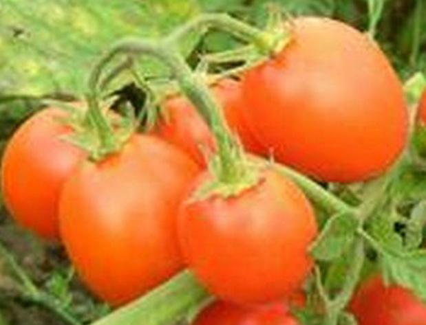 Сорт томата: 6 пунто 7   f1
