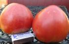 Сорт томата: Абаканский розовый