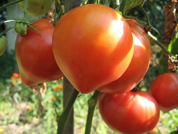 Сорт томата: Абаканский