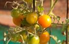 Сорт томата: Адаптор f1