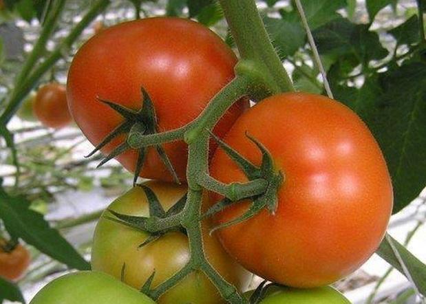 Сорт томата: Адмиро   f1
