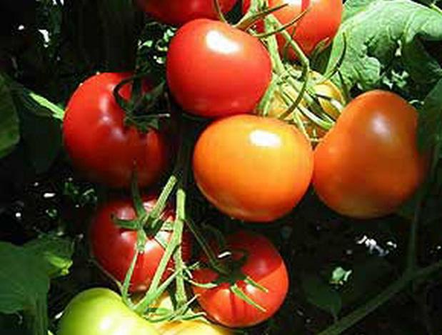 Сорт томата: Адонис   f1