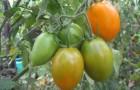 Сорт томата: Афина f1