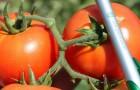Сорт томата: Агрессор f1