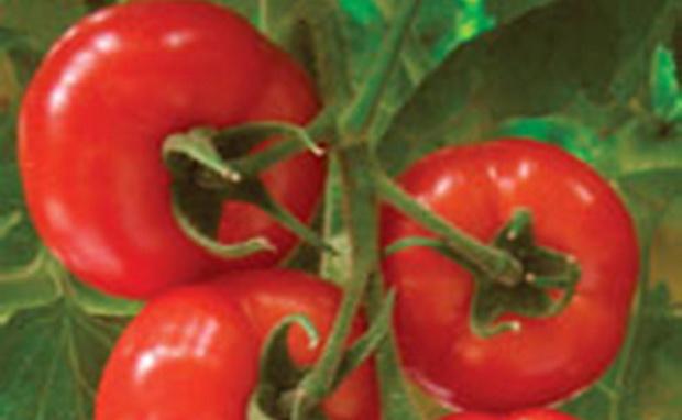Сорт томата: Акатуй f1