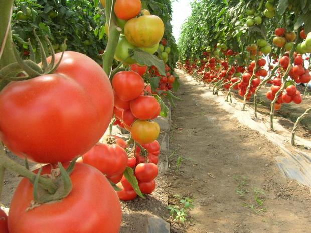Сорт томата: Аксиома   f1