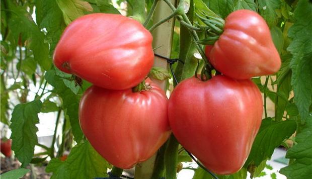 Сорт томата: Аламбра   f1