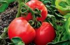 Сорт томата: Алая зорька