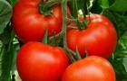 Сорт томата: Алексия f1