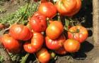 Сорт томата: Аленушка