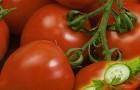 Сорт томата: Алеша f1