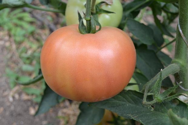 Сорт томата: Алези   f1
