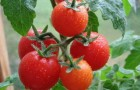 Сорт томата: Алсу