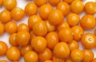 Сорт томата: Алтын