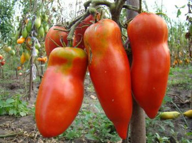 Сорт томата: Алый фрегат   f1