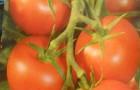Сорт томата: Амишка
