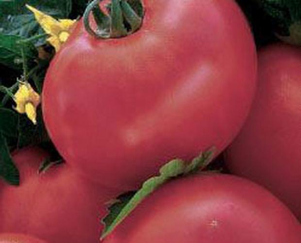 Сорт томата: Амурская заря