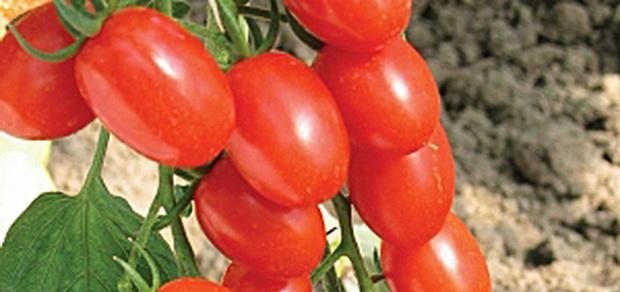 Сорт томата: Анастасия
