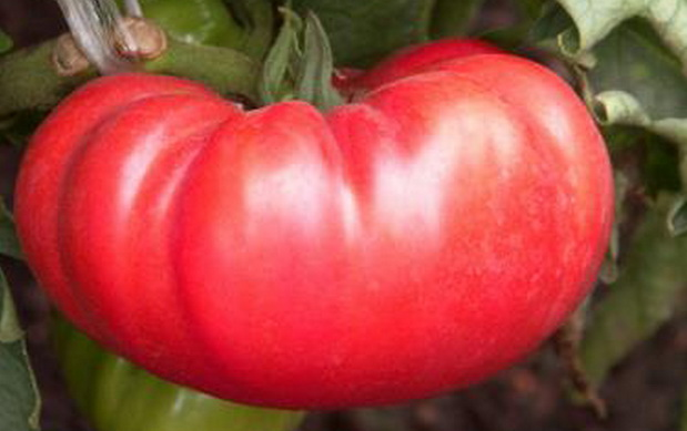 Сорт томата: Андреевский сюрприз f1