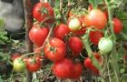 Сорт томата: Ангел f1