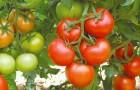 Сорт томата: Анталия f1