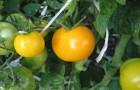 Сорт томата: Антошка