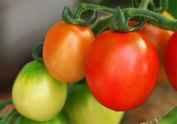 Сорт томата: Аполлон   f1