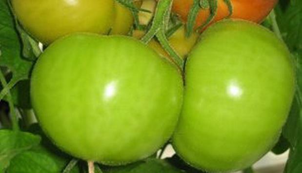Сорт томата: Арабеска   f1
