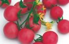 Сорт томата: Арктика