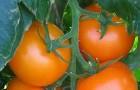 Сорт томата: Ассоль